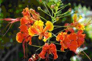 Национальный цветок Барбароса.