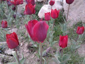Тюльпаны в Анталье