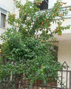 Зимние апельсины в Анталье