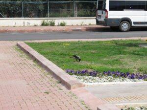 Вороны весной в Анталье