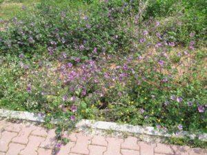 Придорожные цветы в Анталье