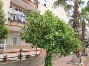 Апельсиновое дерево весной в Анталье