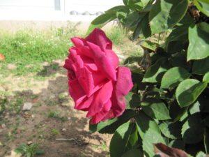 Весенняя роза Антальи