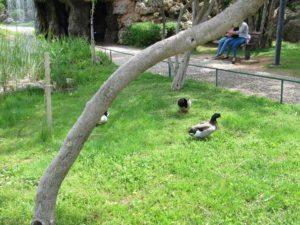 Пешеходные утки